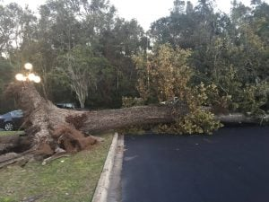 winter tree protection from storm damage