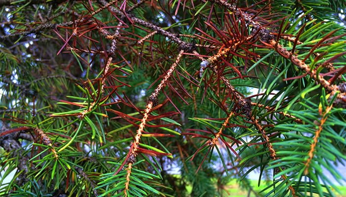blue spruce tree needles are brown, burned spruce needles, needle cast disease